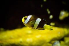 Nemo clownfish. In aquarium Royalty Free Stock Image