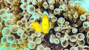 Nemo, clownfish sobre uma anêmona, Maldivas imagem de stock