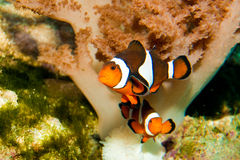 Nemo clownfisk Arkivbilder