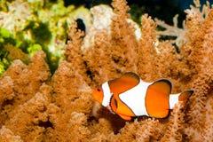 Nemo clownfisk Royaltyfri Foto
