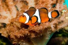 Nemo clownfisk Arkivbild