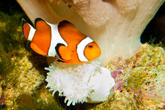 Nemo clownfisk Royaltyfria Bilder