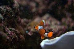 Nemo, das Clownfish Lizenzfreie Stockfotos