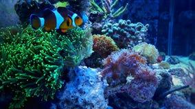 Nemo de Clownfish no coral verde Fotografia de Stock Royalty Free