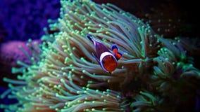 Nemo de Clownfish no tanque marinho Fotografia de Stock Royalty Free