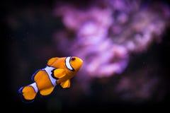 Nemo de los pescados Imagen de archivo