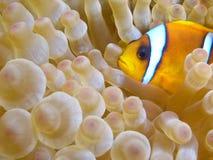 nemo de poissons d'anémone Images stock