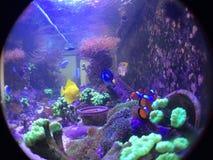 Nemo, Dori, το κίτρινες Tang και δεξαμενή ψαριών κοραλλιών Kriptonite σαλπίγγων Στοκ Εικόνα