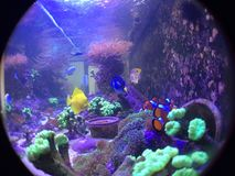 Nemo, Dori, Yellow Tang and Trumpet Kriptonite Coral Fish Tank Stock Image