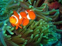 Nemo encontró Imagen de archivo libre de regalías