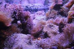 Nemo, encontrou Imagem de Stock