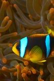 nemo för fisk för amphiprionbicinctusclown Arkivbild