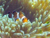 Nemo Fische steuern automatisch an Stockfotos