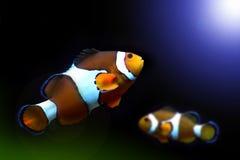 Nemo fish. Swimming toward the sun light Royalty Free Stock Photography
