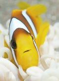 Nemo fish Royalty Free Stock Image