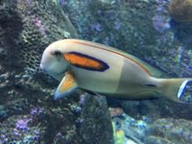 Nemo Fish. A fish is any member of a group of animals that consist of all gill-bearing aquatic craniate animals that lack limbs with digits.  Tetrapods emerged Stock Photography