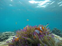 Nemo fish on a coral reef