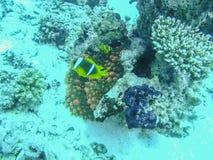 Nemo Fish Couple Swimming intorno al mare dell'anemone in rosso immagine stock