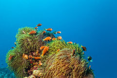 Nemo fish with host anemone, Clown Anemonefish Royalty Free Stock Photography