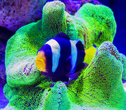 Nemo fish and sea anemone Royalty Free Stock Photo
