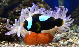 Nemo fish and sea anemone Royalty Free Stock Image