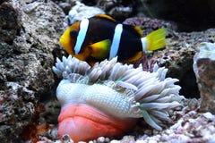 Nemo fish and sea anemone. Ocean royalty free stock photo