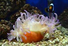 Nemo fish and sea anemone. Tropical aquarium royalty free stock photography