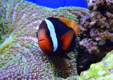 Nemo fish and sea anemone Stock Photo