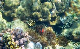 Nemo fisk i koraller Undervattens- foto för korallrev Clownfish i anemon Tropisk kust som snorklar eller dyker royaltyfria bilder
