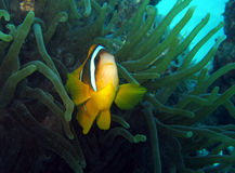 Nemo is found #2 Royalty Free Stock Images