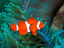Nemo Found. This is a photo of a clown fish underwater on a scuba diving ecotourism adventure Stock Photo