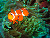 Nemo Found Royalty Free Stock Image