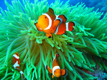 Nemo found. This is a photo of a clown fish underwater on a scuba diving ecotourism adventure Stock Image