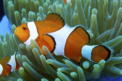Nemo the friendly clown fish off Padre Burgos, Leyte, Philippines Royalty Free Stock Photos