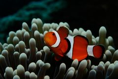 Nemo in grey anemone. Amphiprion Western clownfish Ocellaris Clownfish, False Percula Clownfish is hiding in anemone, Panglao, Philippines Royalty Free Stock Images