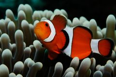 Nemo and grey anemone. Amphiprion Western clownfish Ocellaris Clownfish, False Percula Clownfish is hiding in anemone, Panglao, Philippines Stock Images
