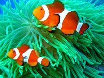 Nemo ha trovato Immagini Stock Libere da Diritti