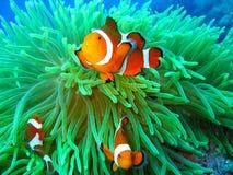 Nemo ha trovato Immagine Stock