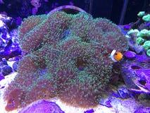 Nemo Hide und Suchvorgang stockfotos