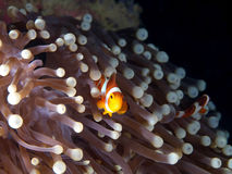 Nemo hiding in his anemone home Lizenzfreie Stockfotografie