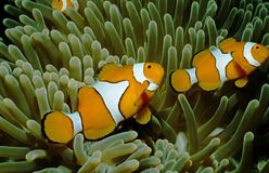 Nemo at home. Anemonefish in a sea anemone stock images