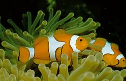 Nemo at home. Anemonefish in a sea anemone royalty free stock photography