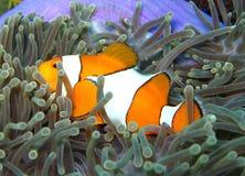 Nemo il pagliaccio Fish Fotografie Stock Libere da Diritti
