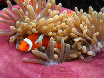 Nemo royalty free stock images