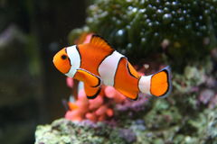 Nemo Like Clown Fish Stock Images