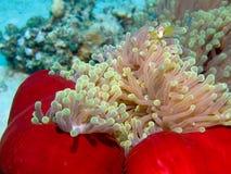 Nemo molto piccolo Immagini Stock