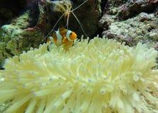 Nemo Royalty Free Stock Photography