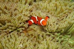 Nemo negli anemoni di mare Immagini Stock Libere da Diritti