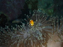 Nemo och havsanemon Arkivbilder
