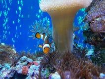 Nemo os peixes Foto de Stock